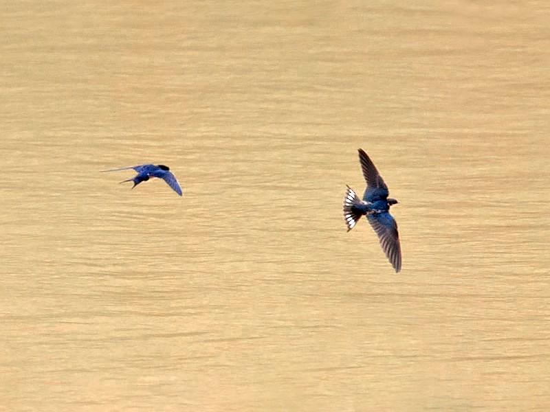 Ethiopian Swallow - Arthur Grosset