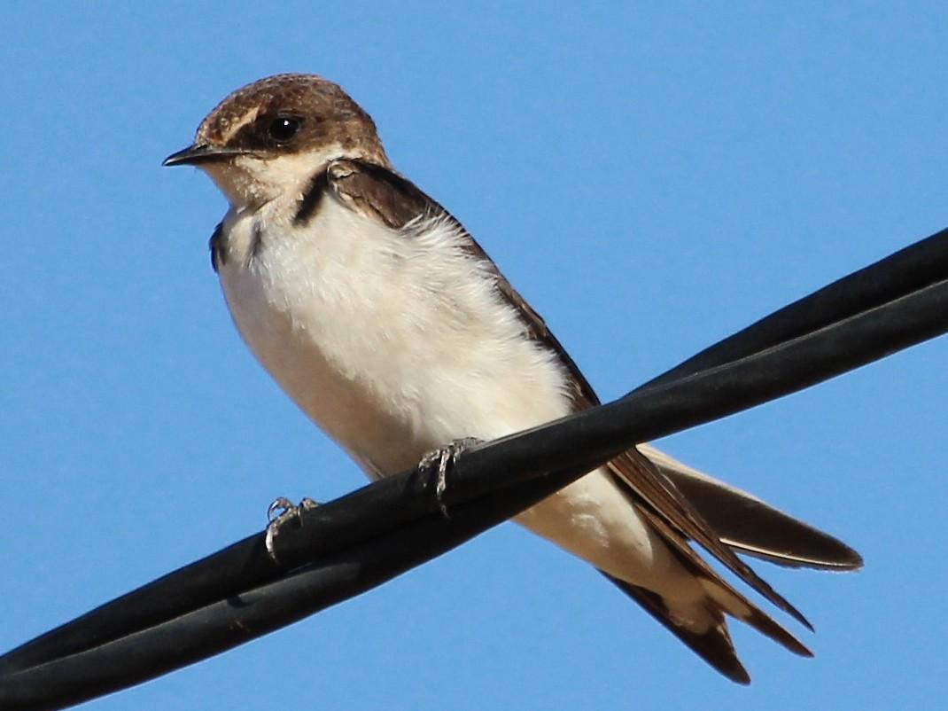 Ethiopian Swallow - Justin Goldberg