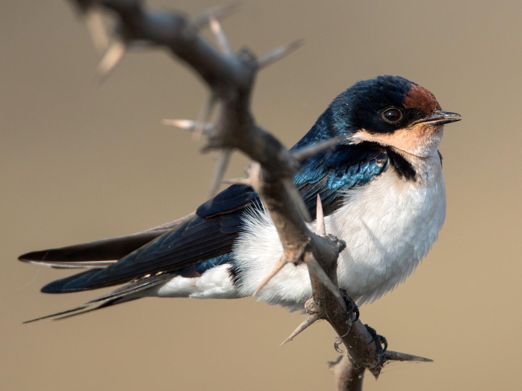 Ethiopian Swallow - Ian Davies
