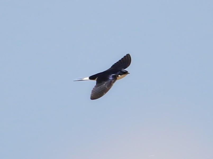 White-tailed Swallow - Fanis Theofanopoulos (ASalafa Deri)