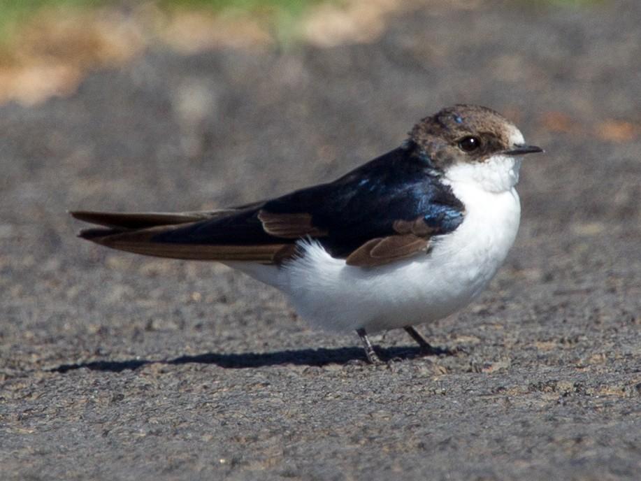 White-tailed Swallow - Simon Colenutt