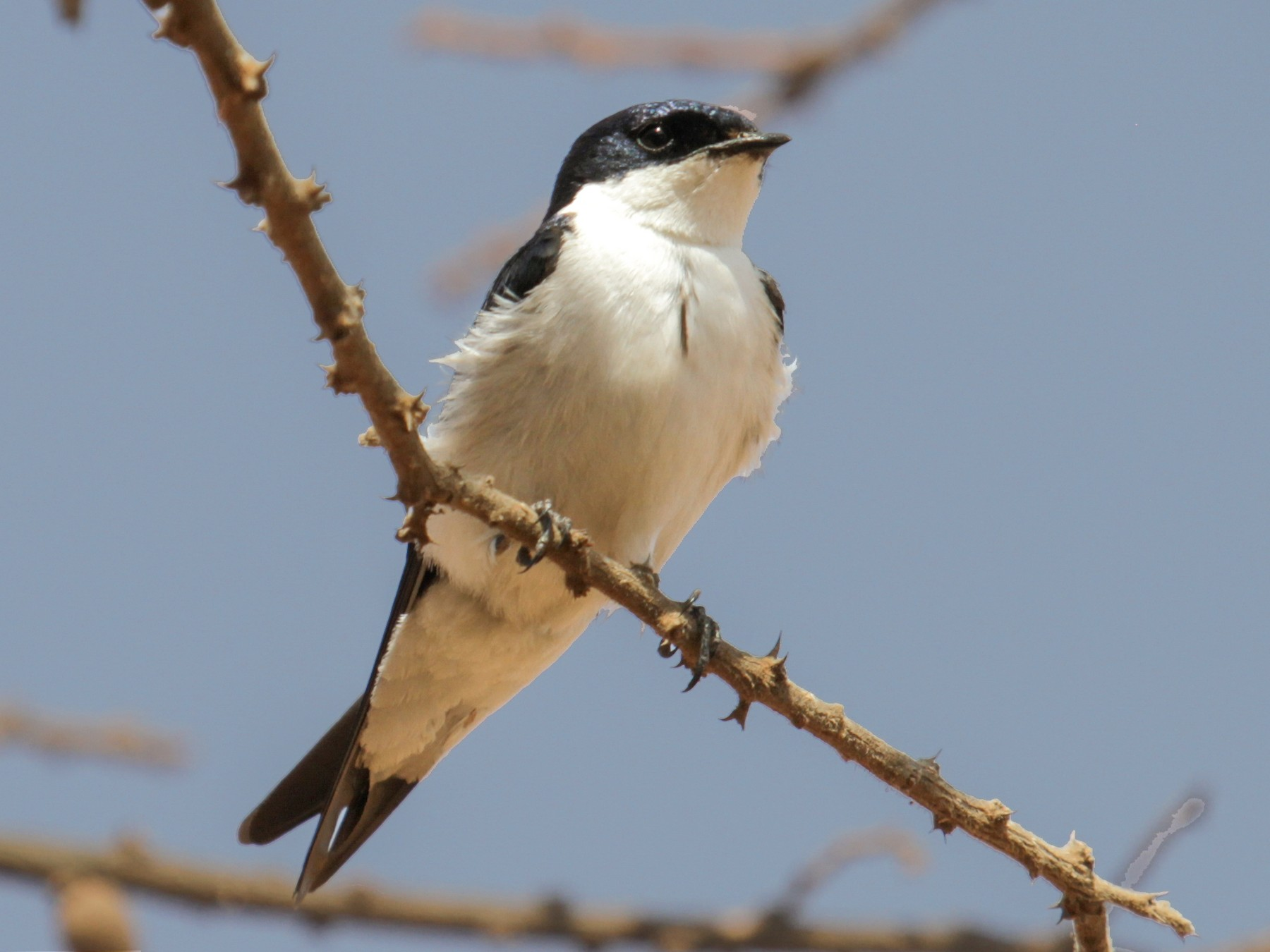 White-tailed Swallow - Tommy Pedersen