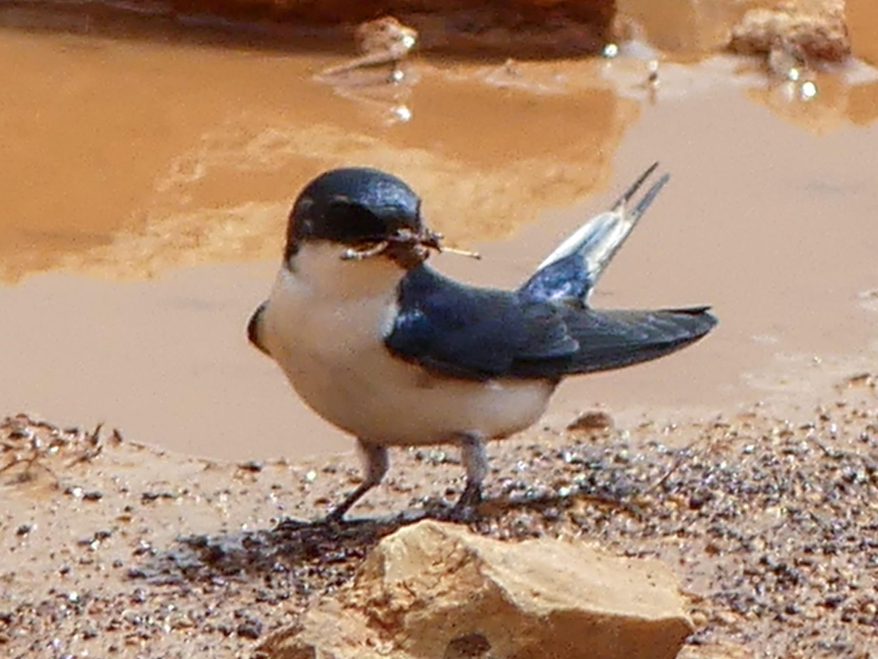 White-tailed Swallow - Robin Duska Huff