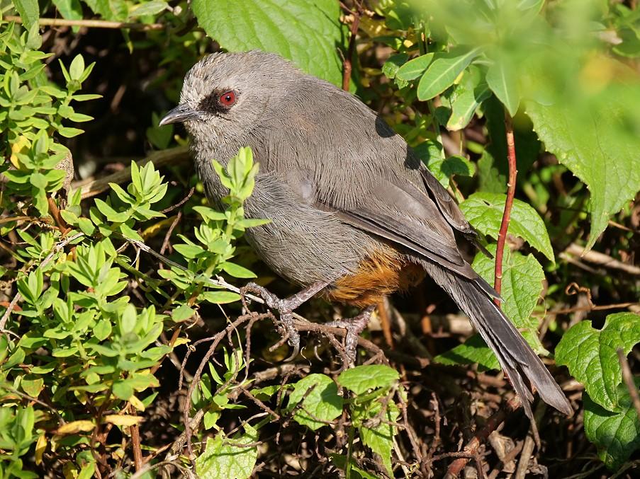 Abyssinian Catbird - Nik Borrow