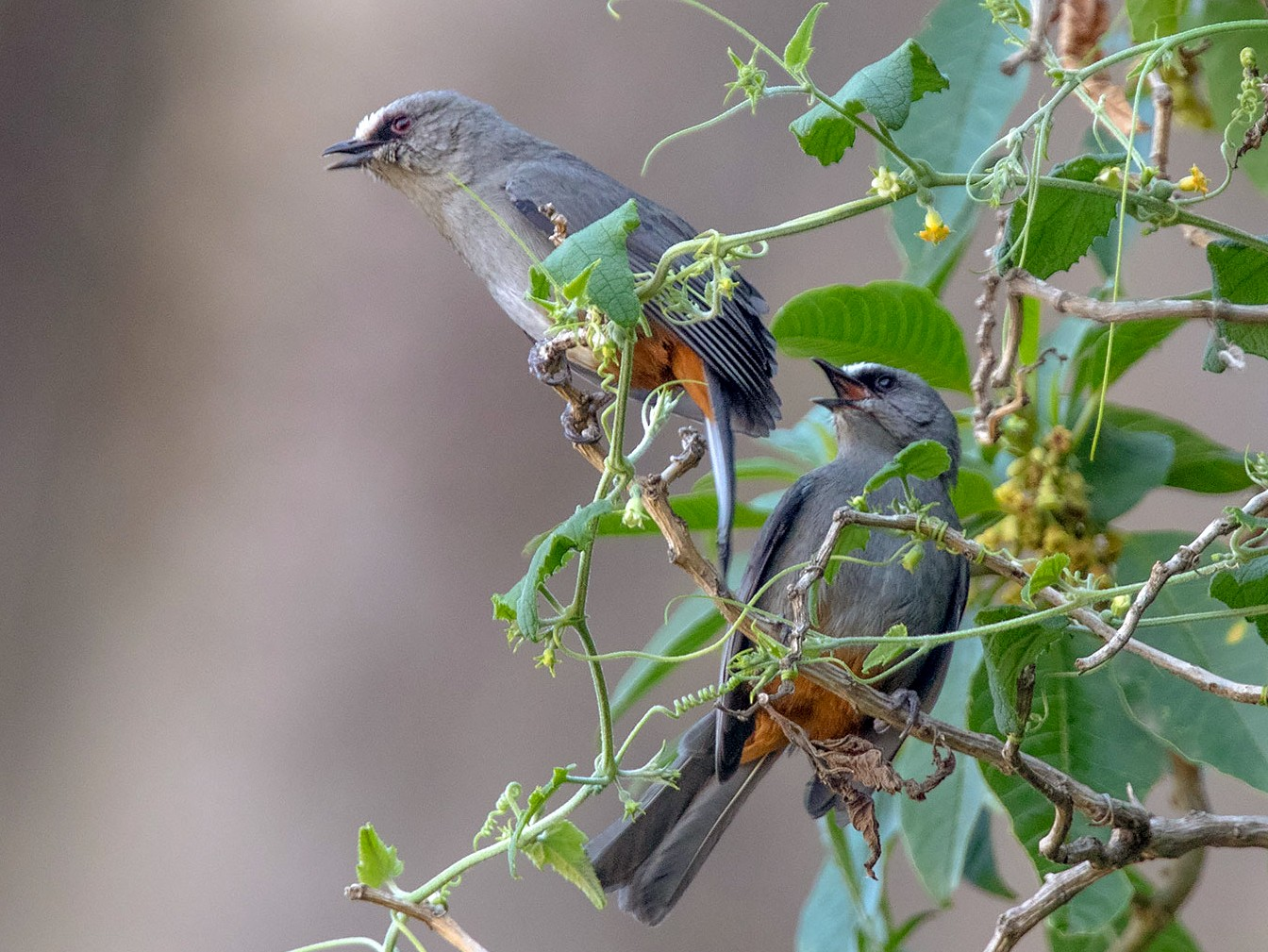 Abyssinian Catbird - Arthur Grosset