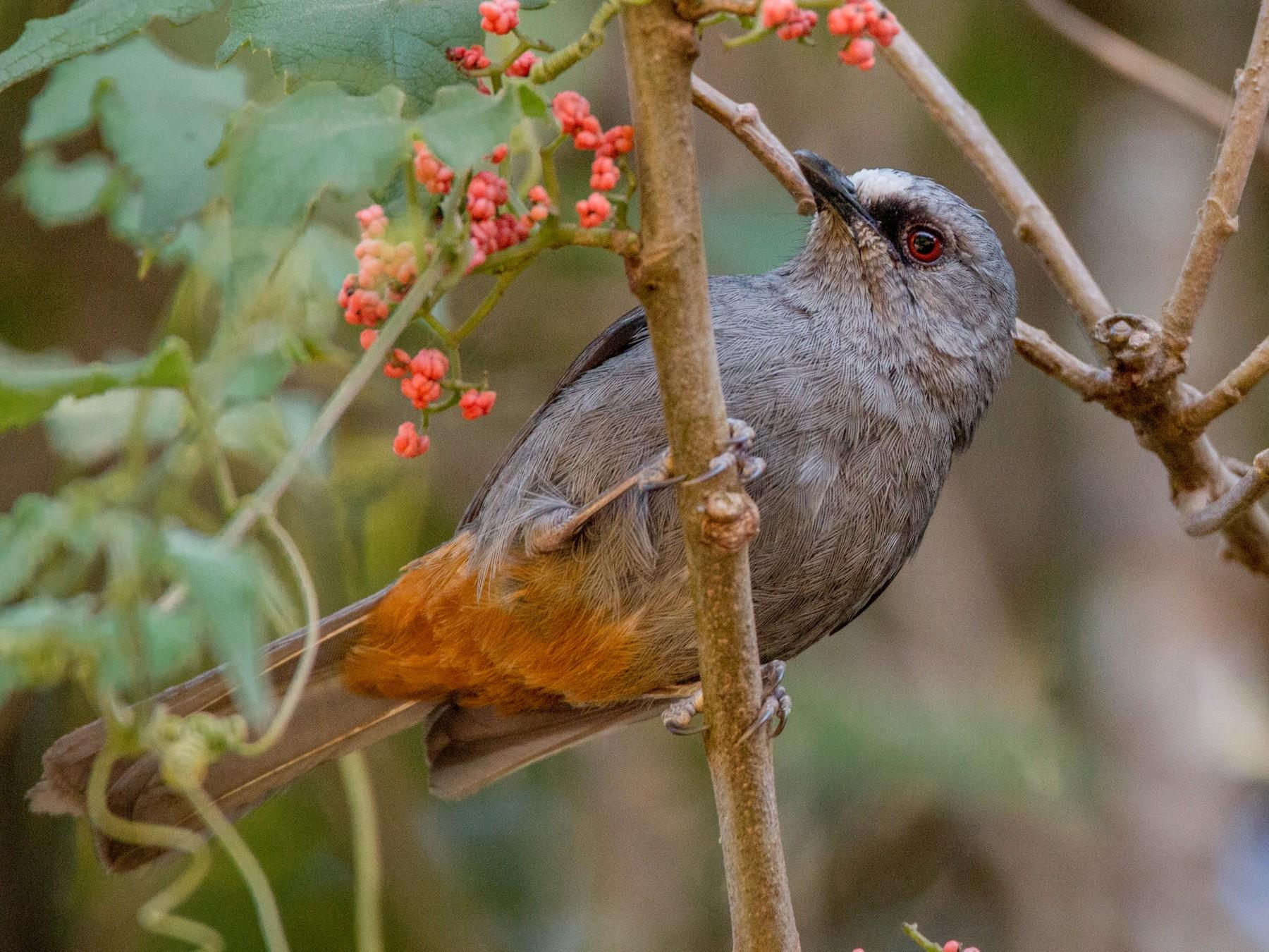 Abyssinian Catbird - Ian Davies