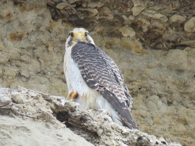Peregrine Falcon (South American)