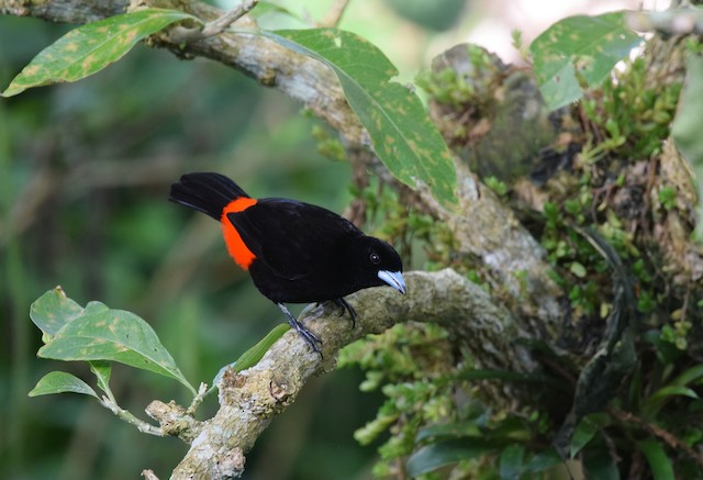 Scarlet-rumped Tanager (Passerini's)