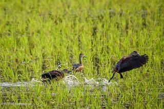 Lesser Whistling-Duck, ML247013651