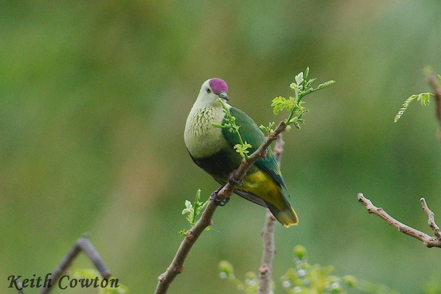 Purple-capped Fruit-Dove