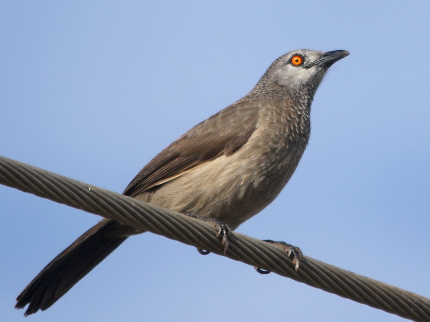 Brown Babbler - Kojo Baidoo