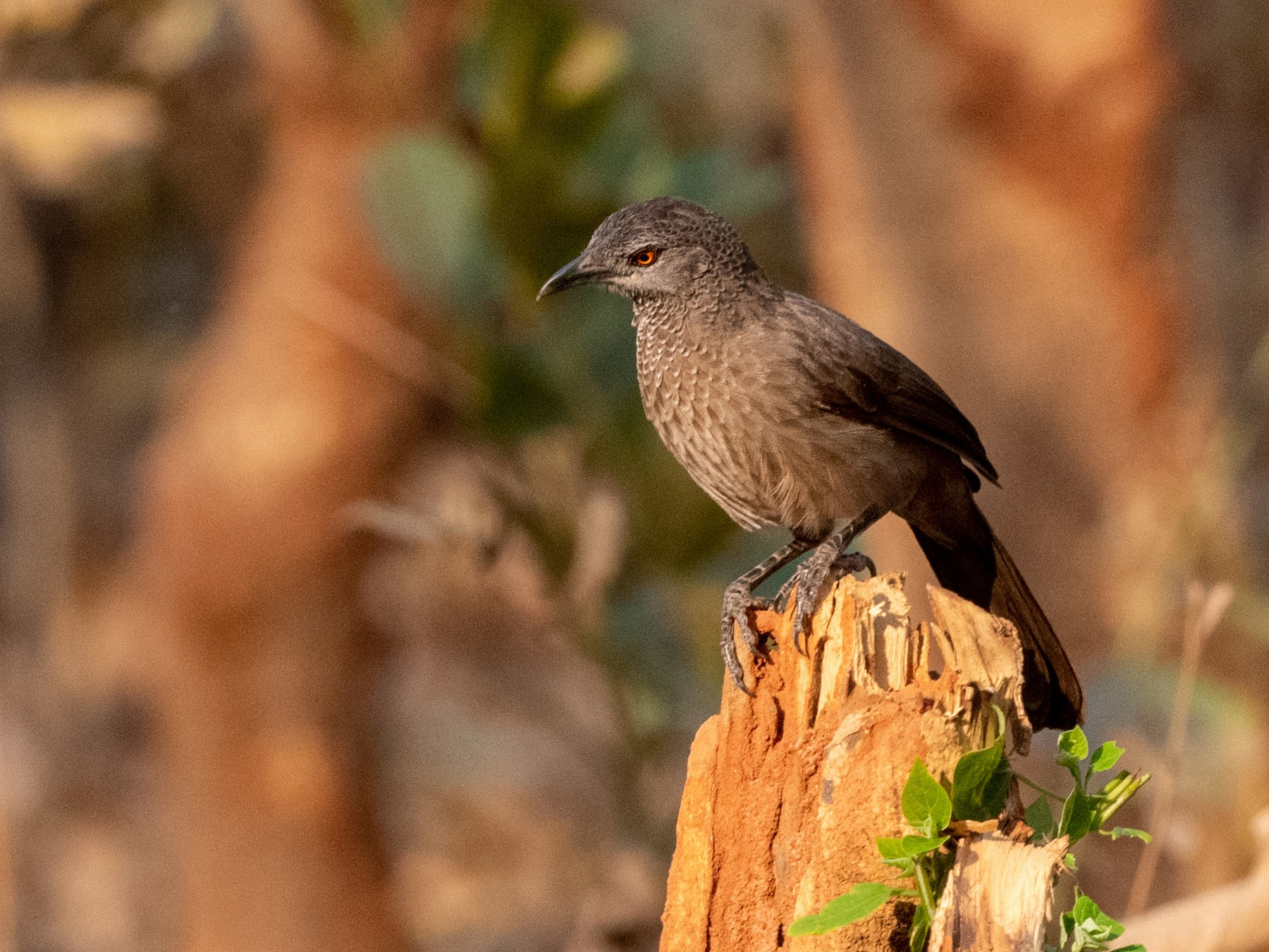 Brown Babbler - Hans Norelius
