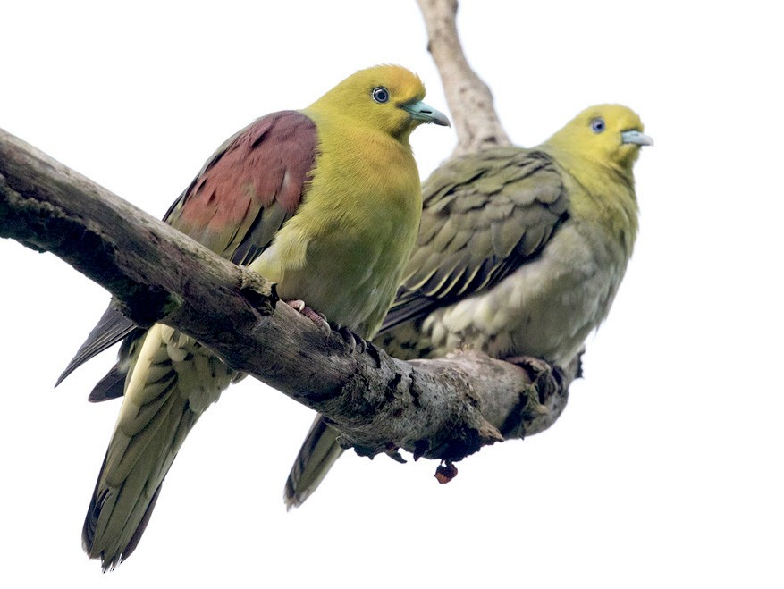White-bellied Green-Pigeon - Lars Petersson