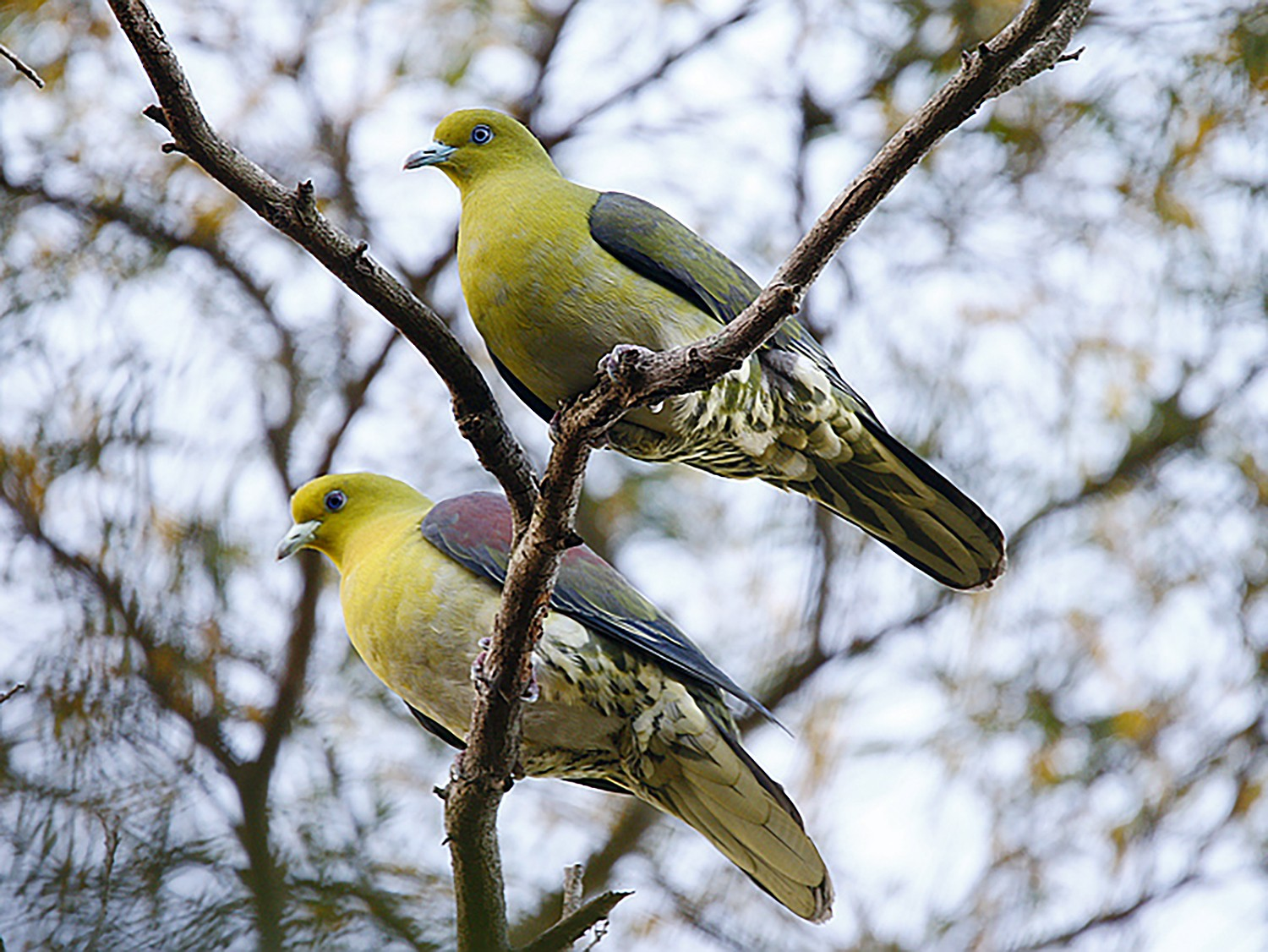 White-bellied Green-Pigeon - Roland Lo