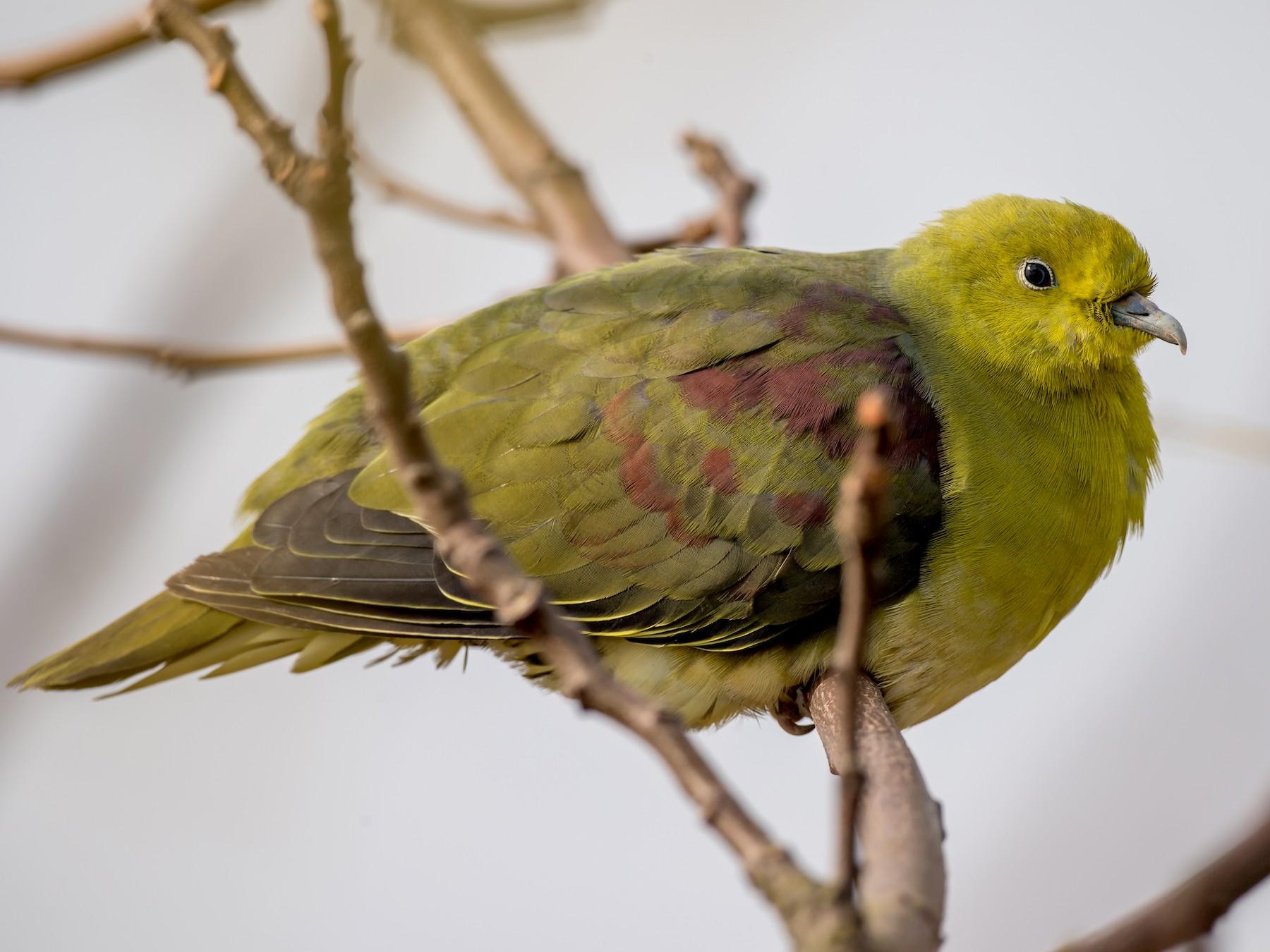 White-bellied Green-Pigeon - Kai Pflug