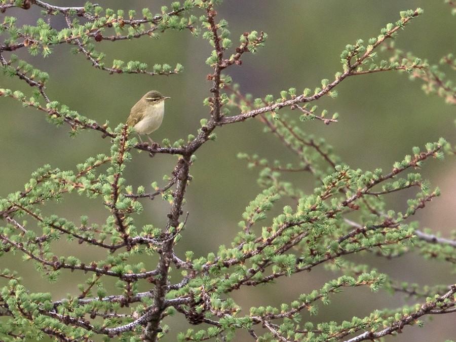 Japanese Leaf Warbler - Lars Petersson