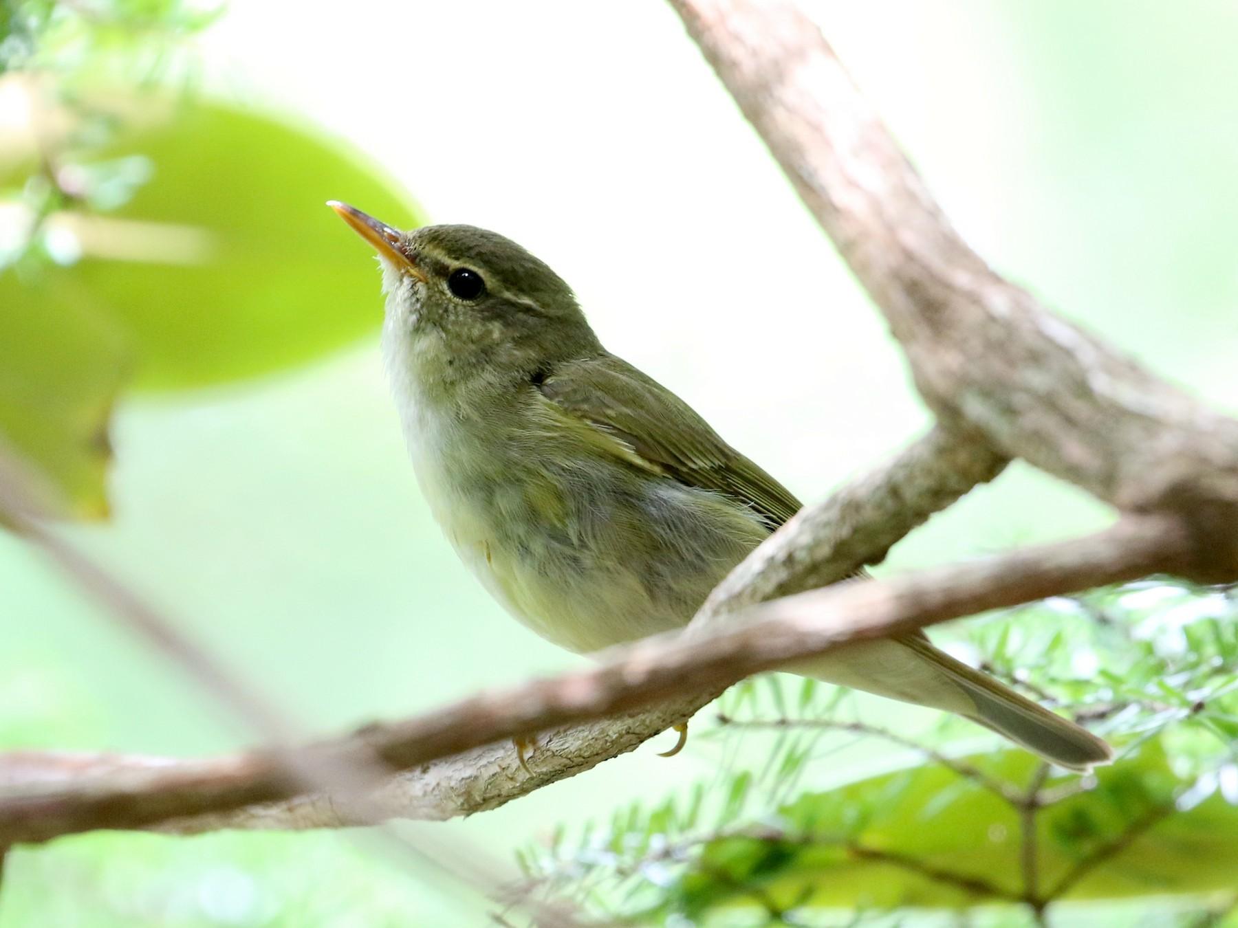 Japanese Leaf Warbler - Atsushi Shimazaki