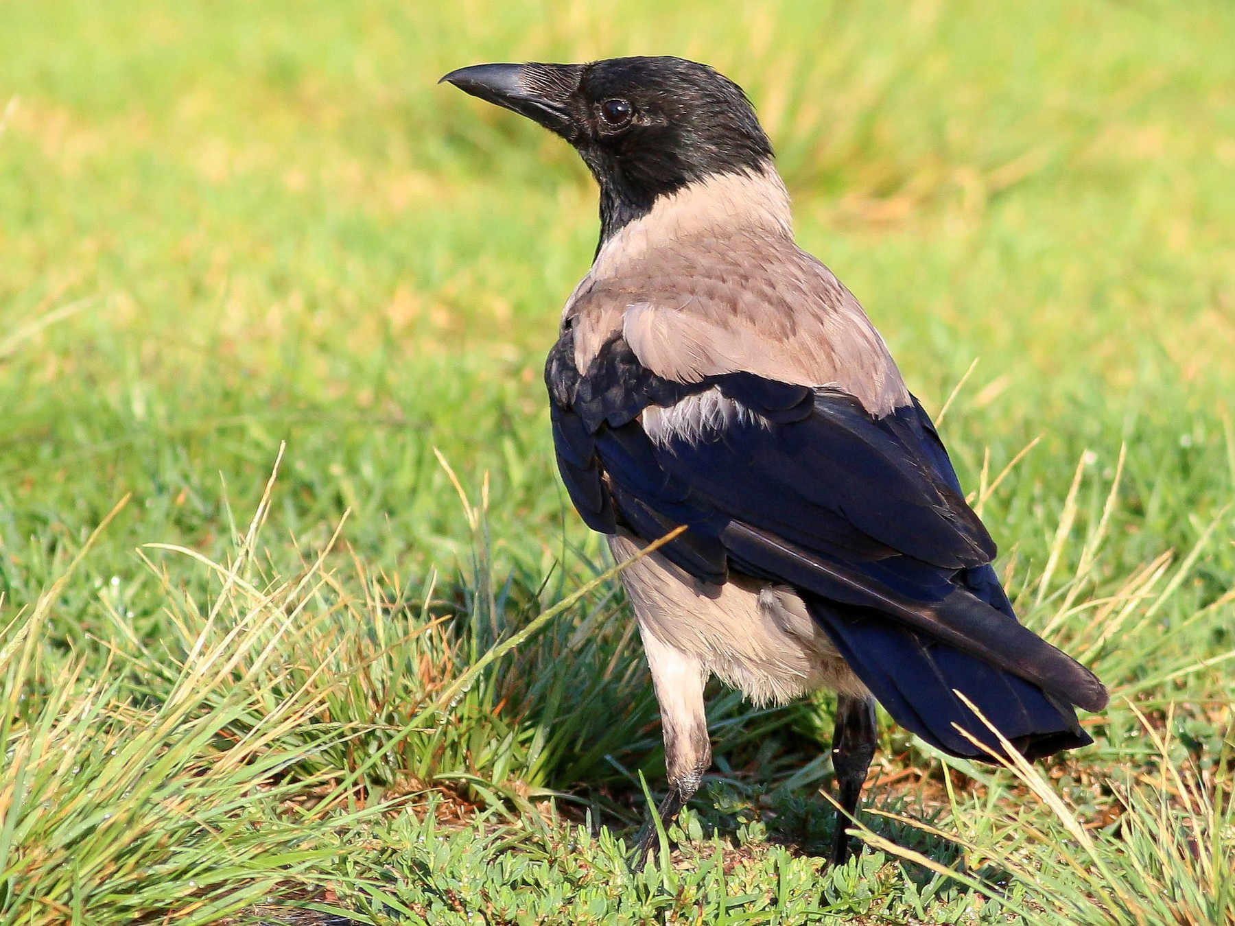 Hooded Crow - Paul Fenwick