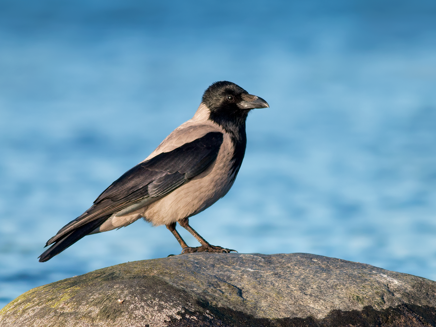 Hooded Crow - Ivan Sjögren