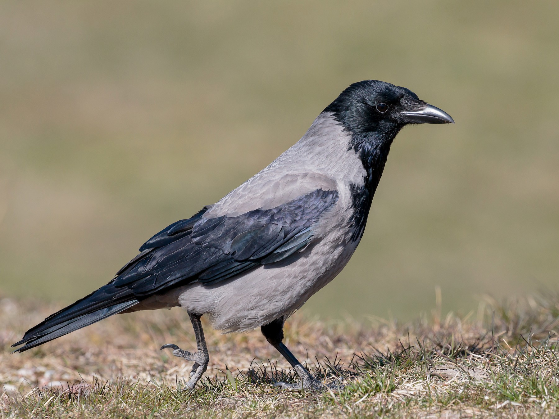 Hooded Crow - Martin  Flack