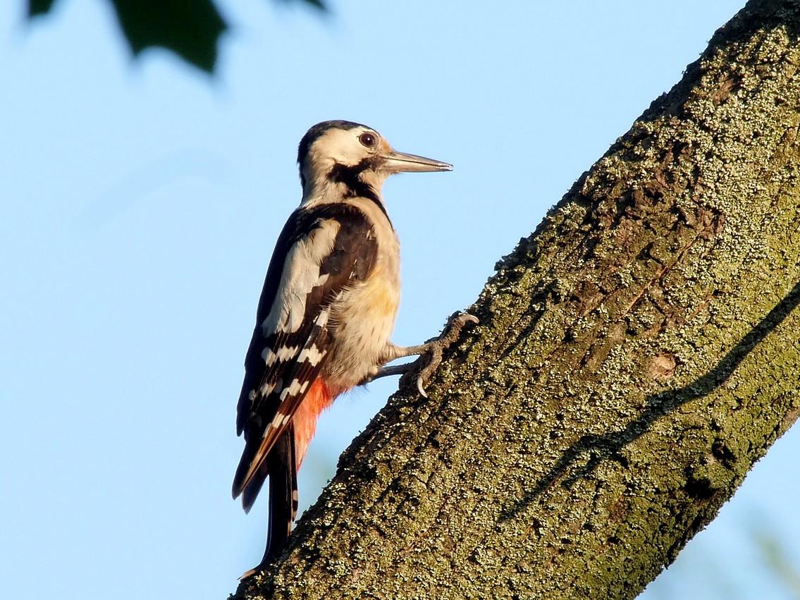 Syrian Woodpecker - Josep del Hoyo