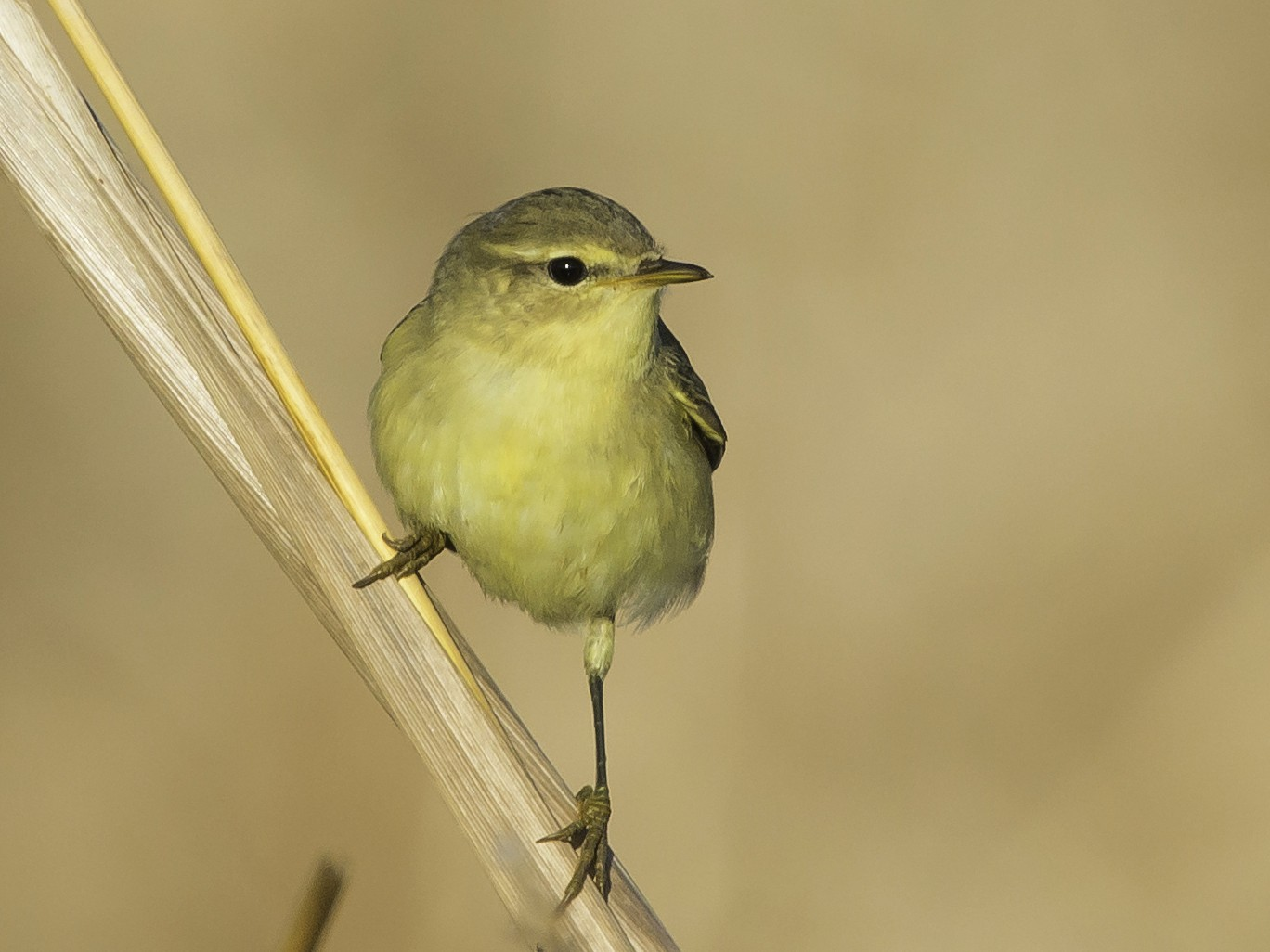 Willow Warbler - Rogério Rodrigues