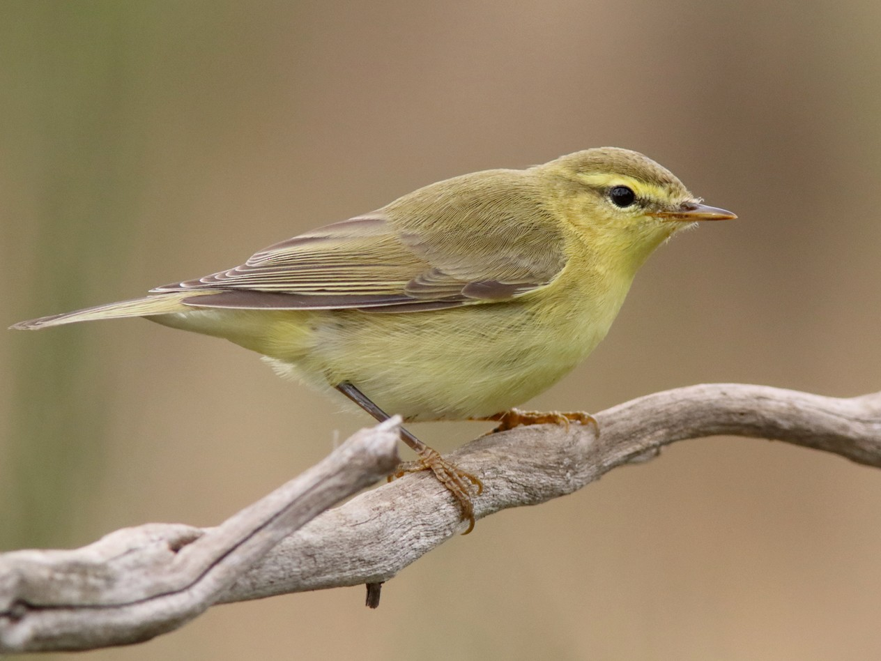 Willow Warbler - Rafael Merchante