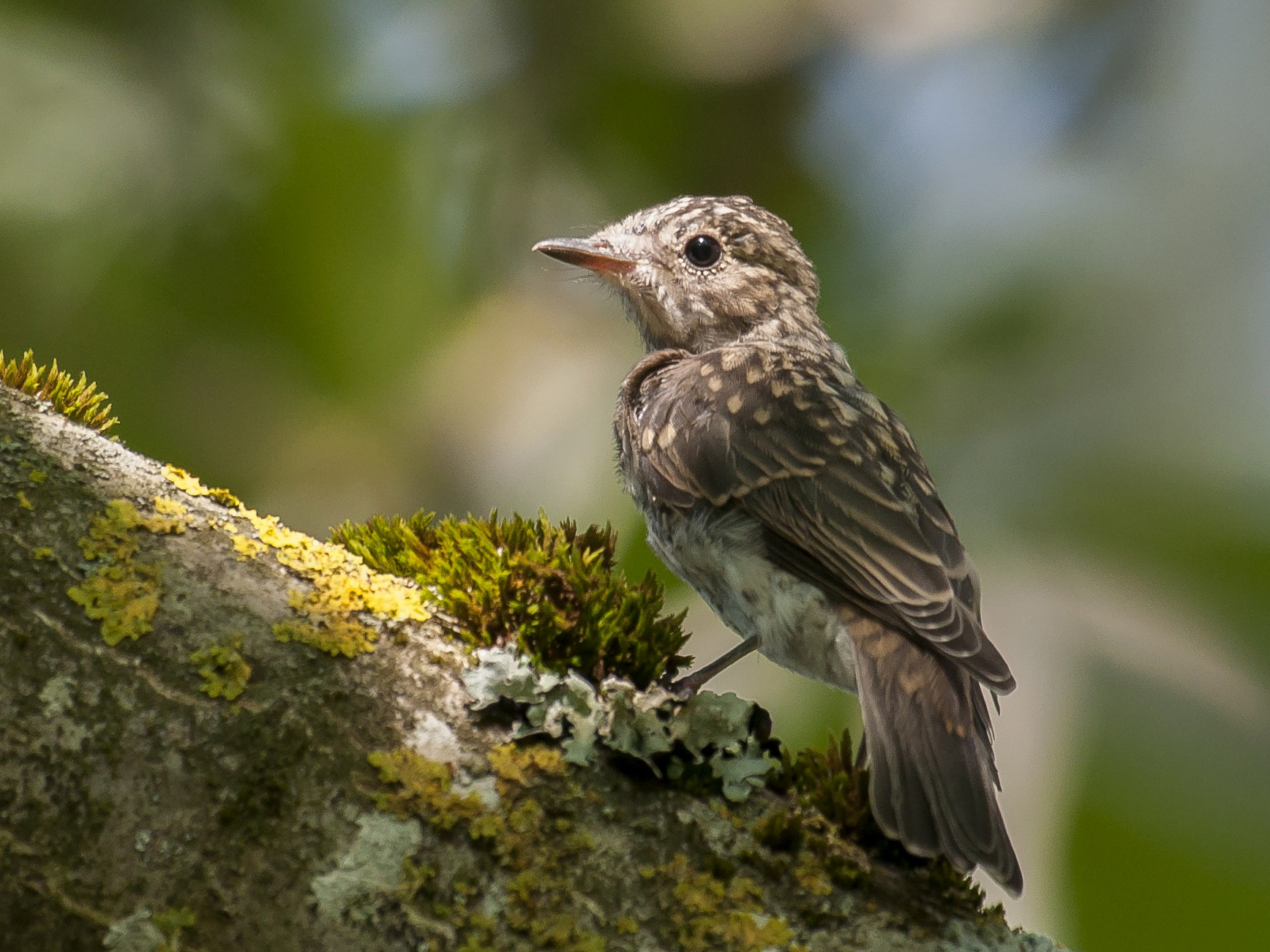 Spotted Flycatcher - Etienne Artigau