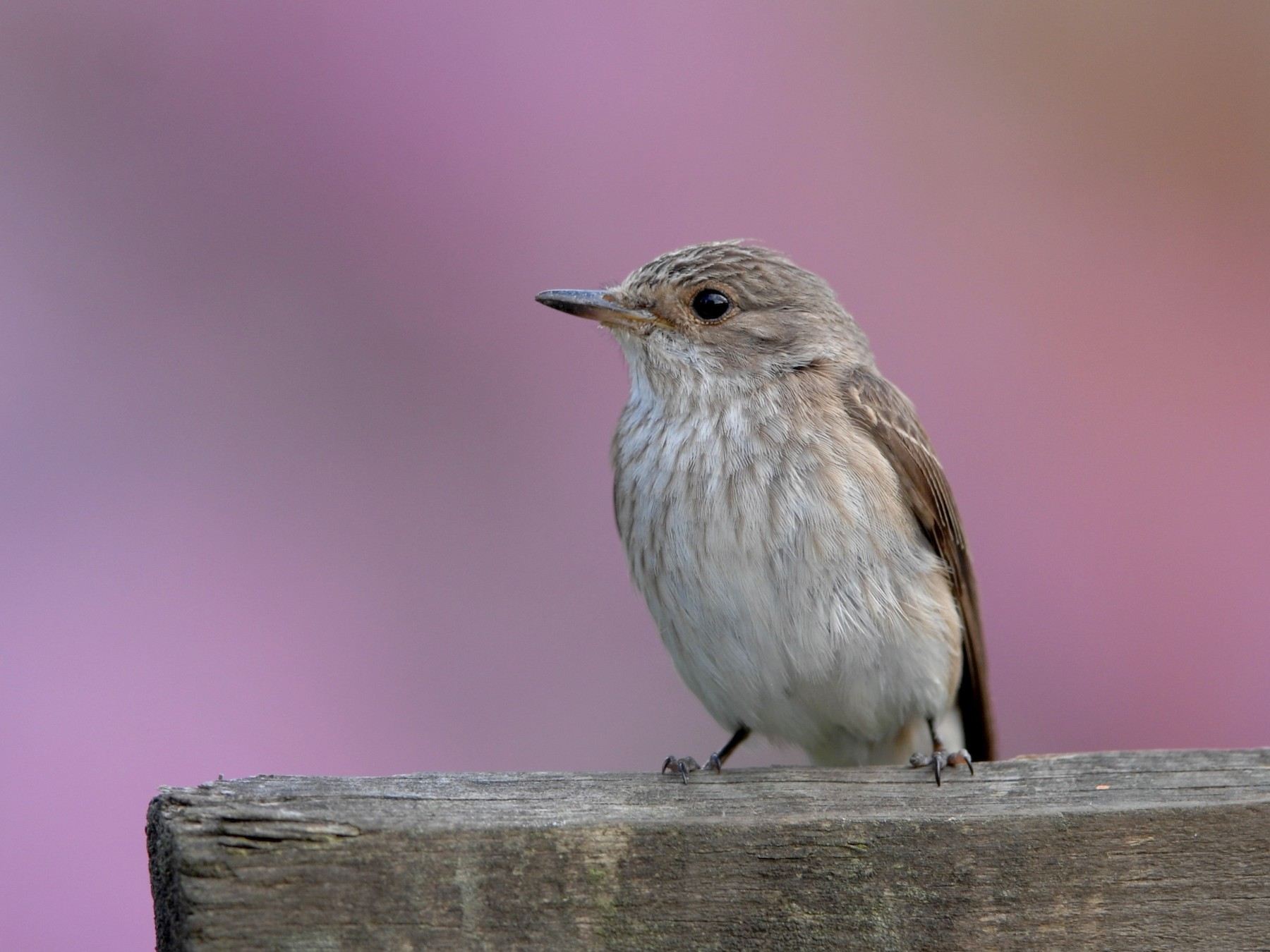 Spotted Flycatcher - Marc FASOL