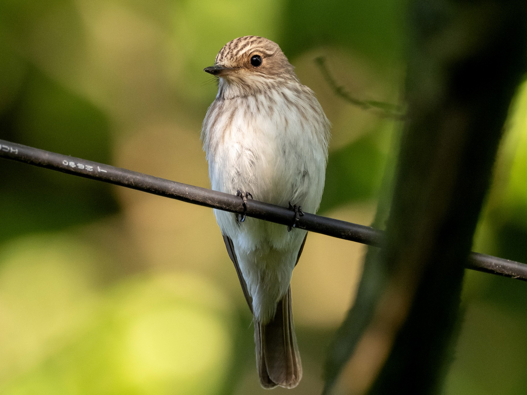 Spotted Flycatcher - James Kennerley 🦄