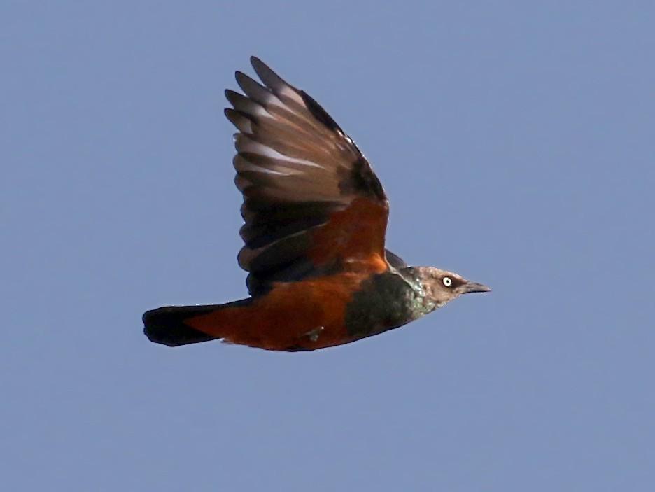 Chestnut-bellied Starling - Jay McGowan