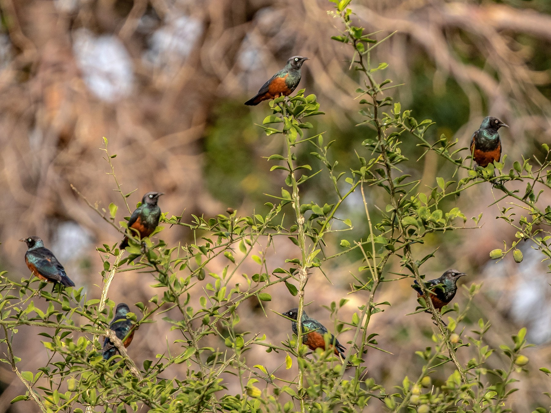 Chestnut-bellied Starling - Per Smith
