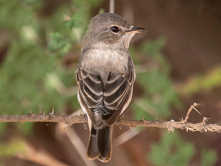 Gambaga Flycatcher - www.aladdin .st