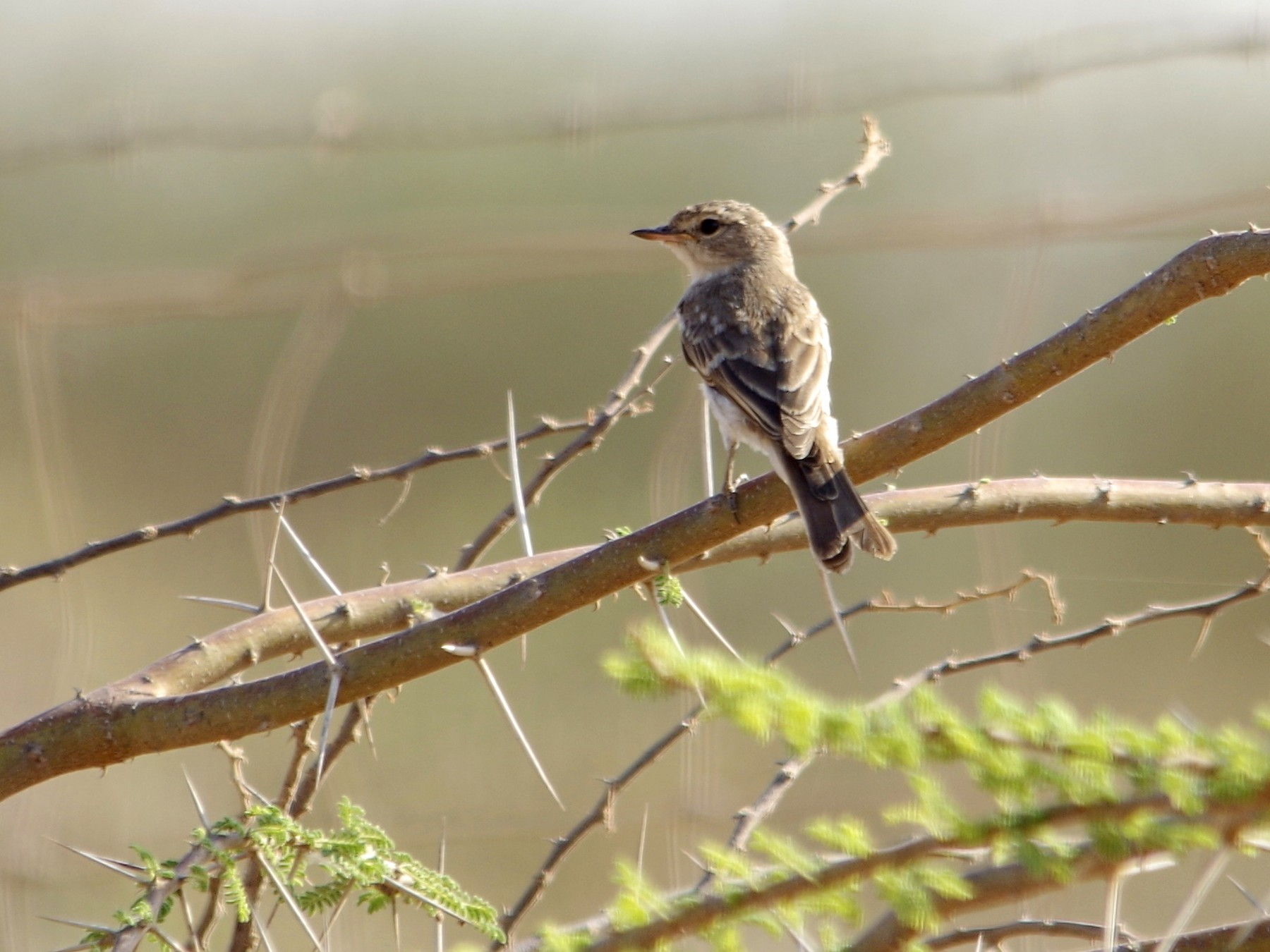 Gambaga Flycatcher - John Tully