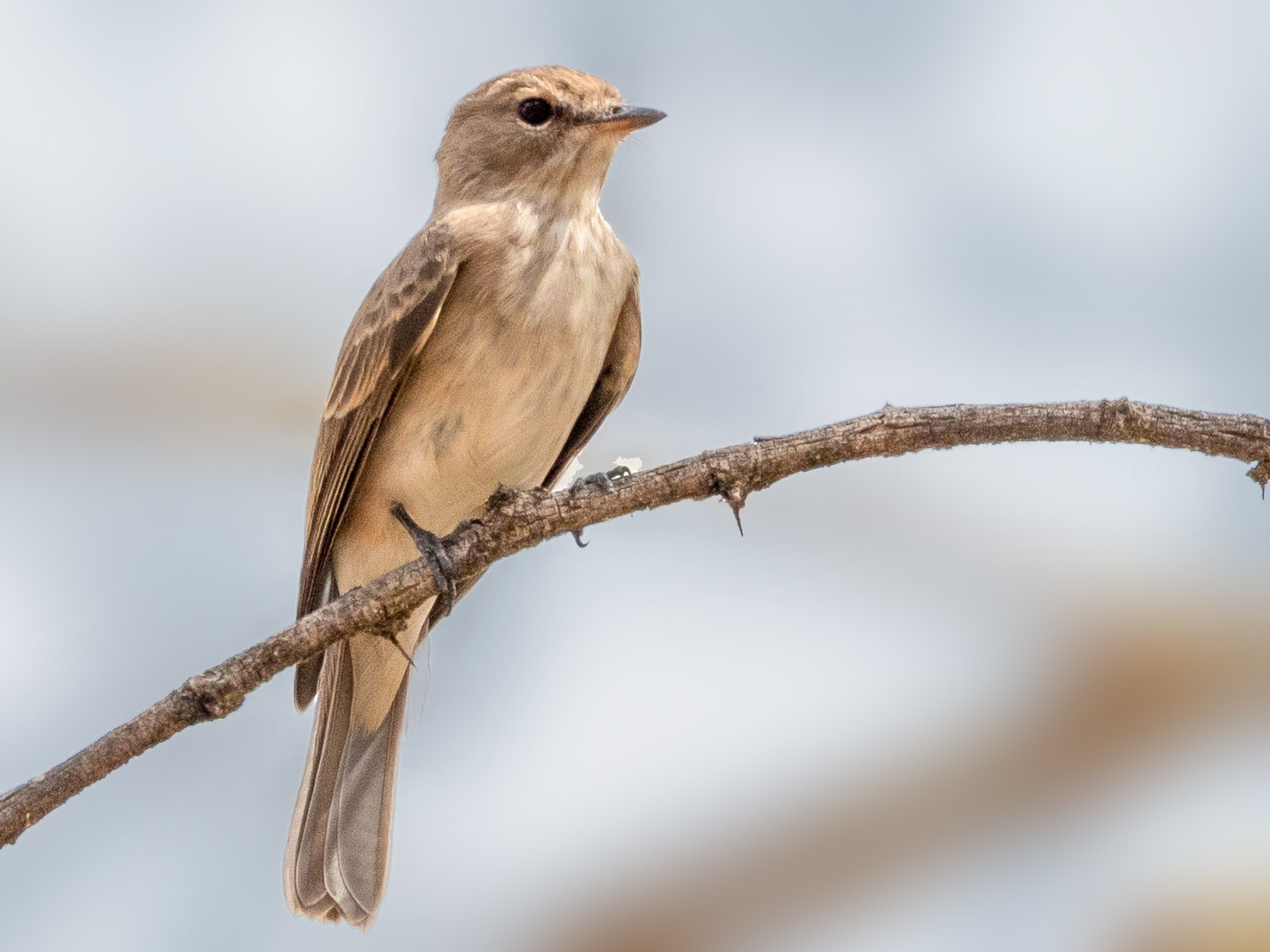 Gambaga Flycatcher - Jean-Louis  Carlo
