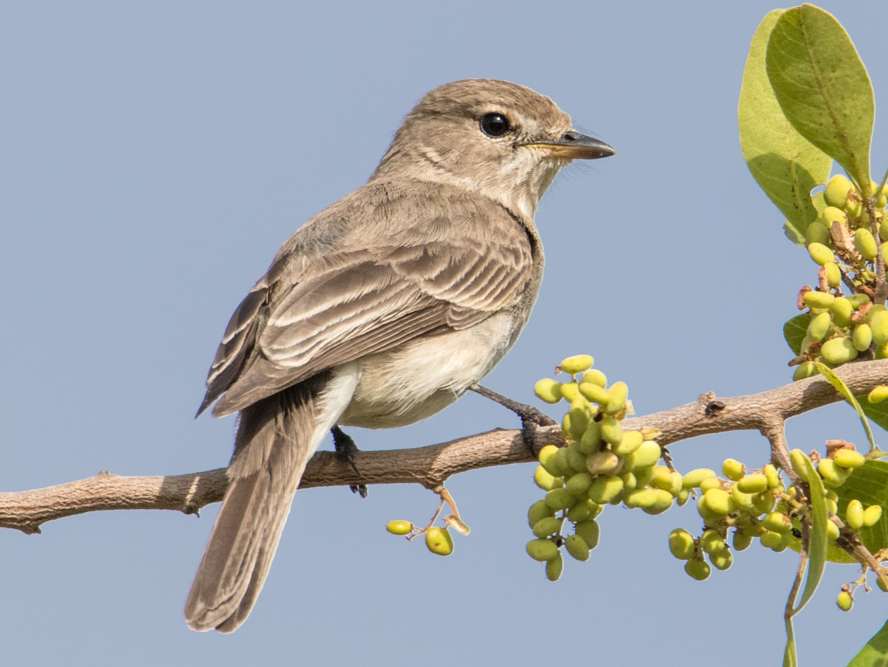 Gambaga Flycatcher - Peter  Steward