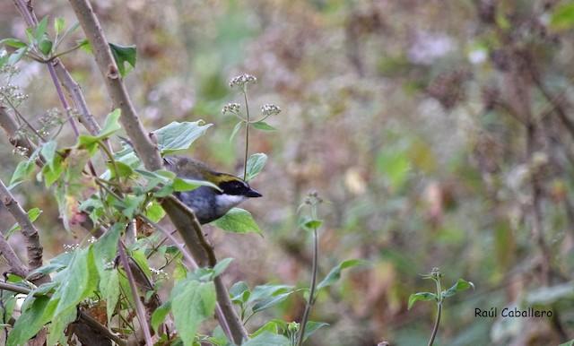 Green-striped Brushfinch