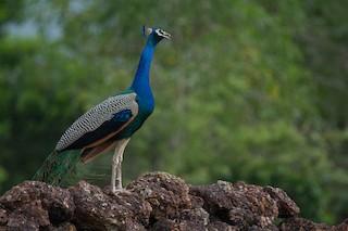 Indian Peafowl, ML247176481