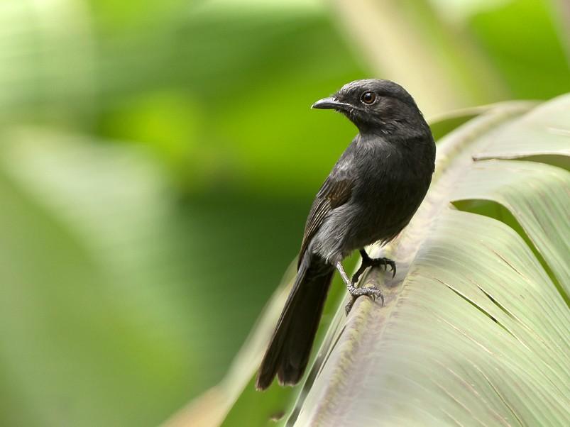 Northern Black-Flycatcher - Frédéric PELSY