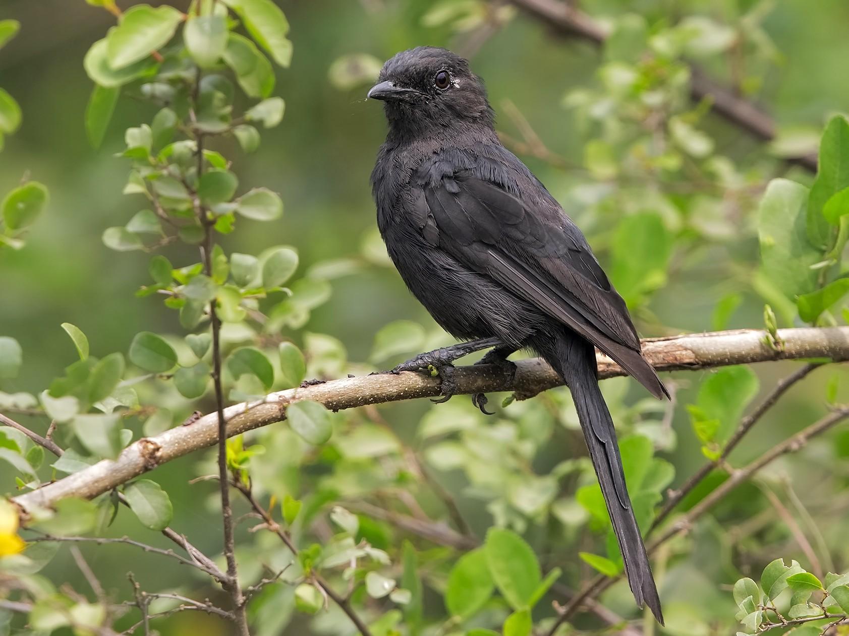 Northern Black-Flycatcher - Marco Valentini