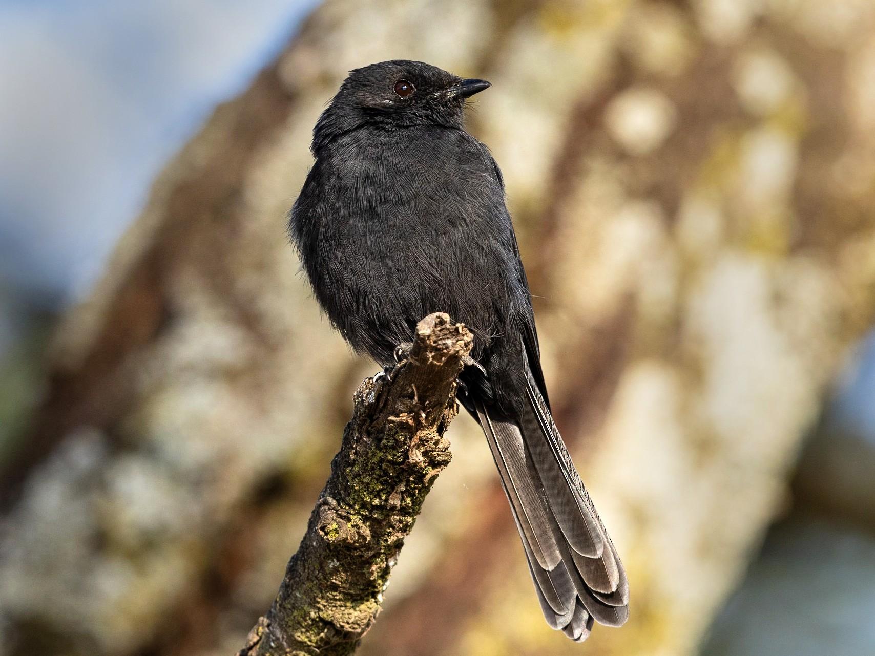 Northern Black-Flycatcher - Stefan  Hirsch