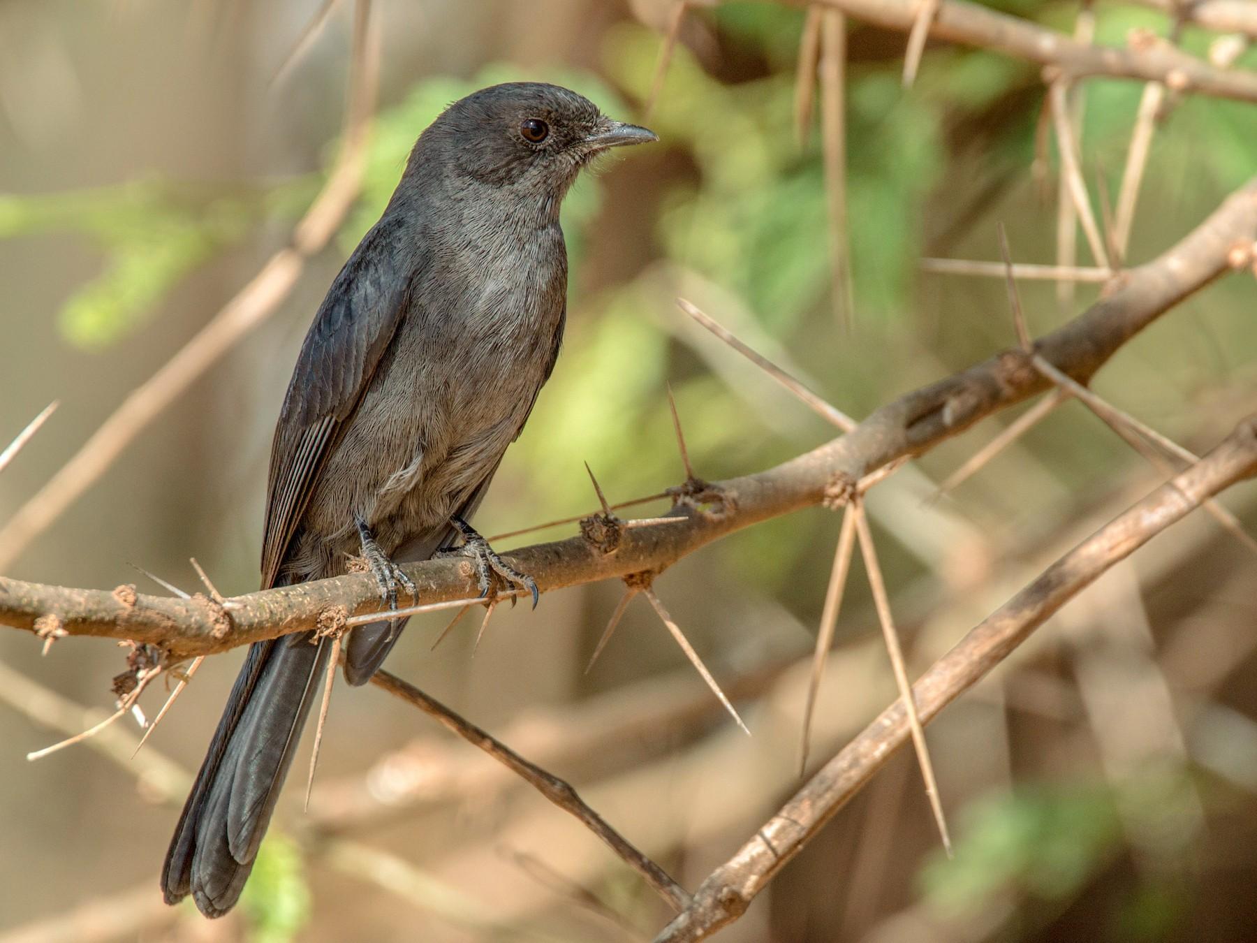 Northern Black-Flycatcher - Ian Davies