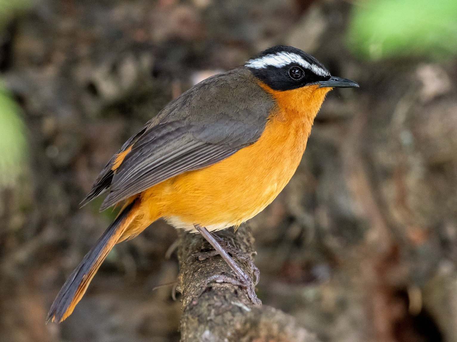 Rüppell's Robin-Chat - Forest Jarvis