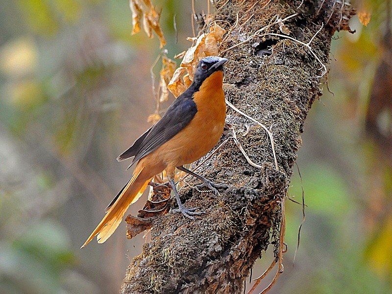 White-crowned Robin-Chat - Tadeusz Stawarczyk