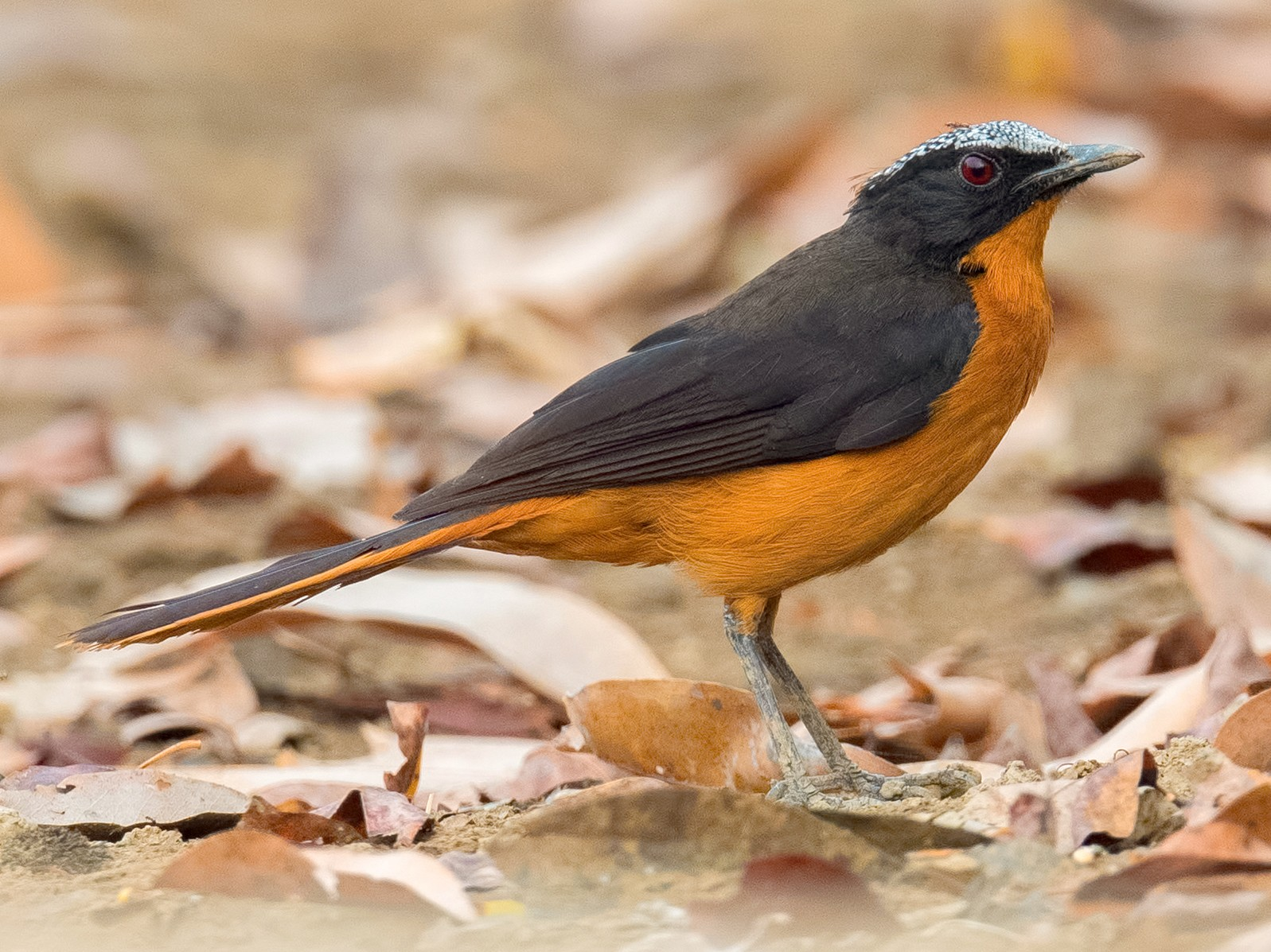 White-crowned Robin-Chat - Shailesh Pinto