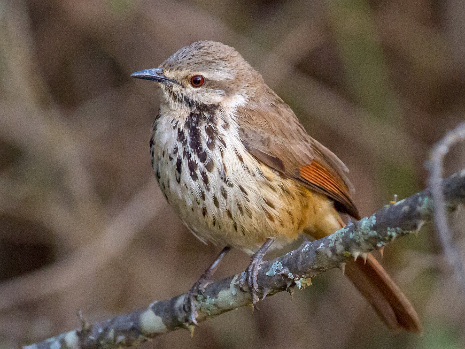 Spotted Morning-Thrush - Chris Sayers
