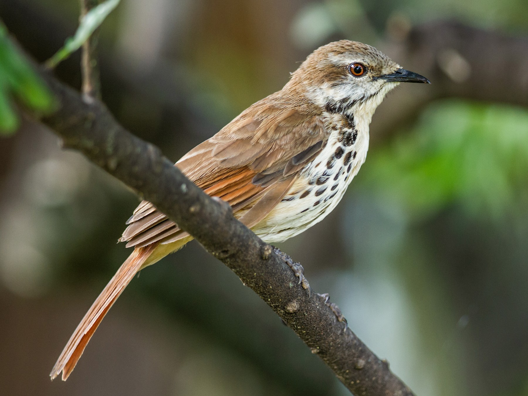 Spotted Morning-Thrush - Nick Athanas