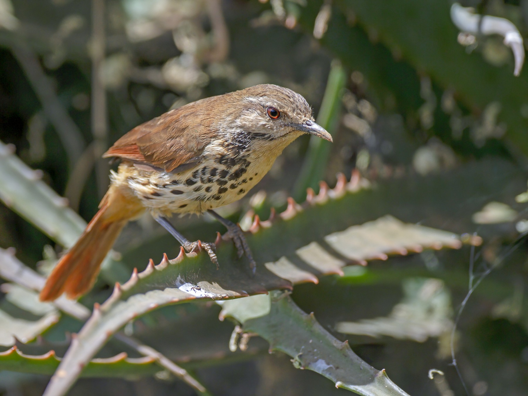 Spotted Morning-Thrush - Marco Valentini