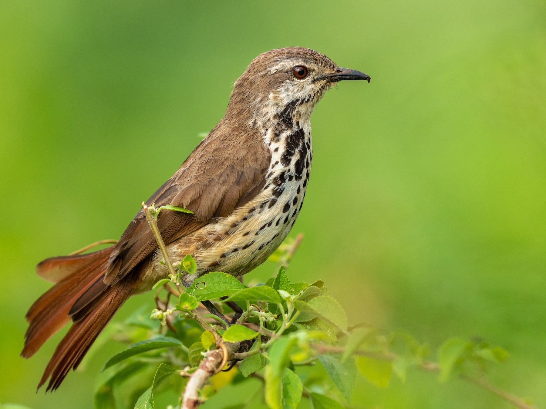 Spotted Morning-Thrush - Jean-Louis  Carlo