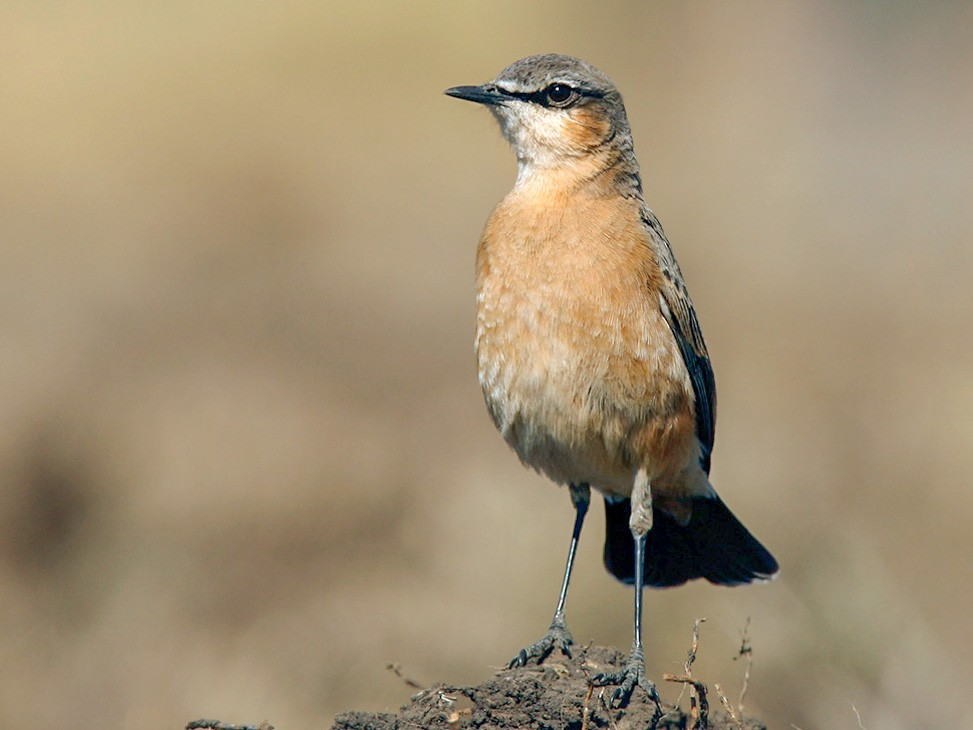 Red-breasted Wheatear - Lars Petersson
